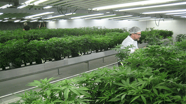 4 Mistakes That Can Jeopardize Your Cannabis Grow Room Project