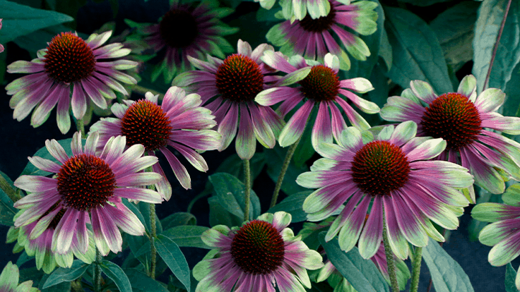 Terra Nova Nurseries introduces sneak peek of Echinacea 'Sweet Sandia'