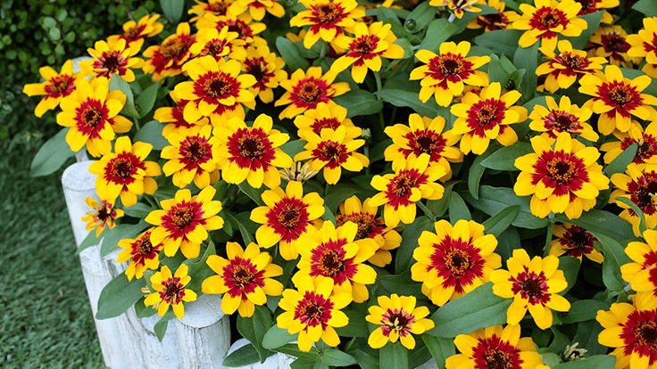 Sakata's new zinnia variety wins gold at two major world flower competitions