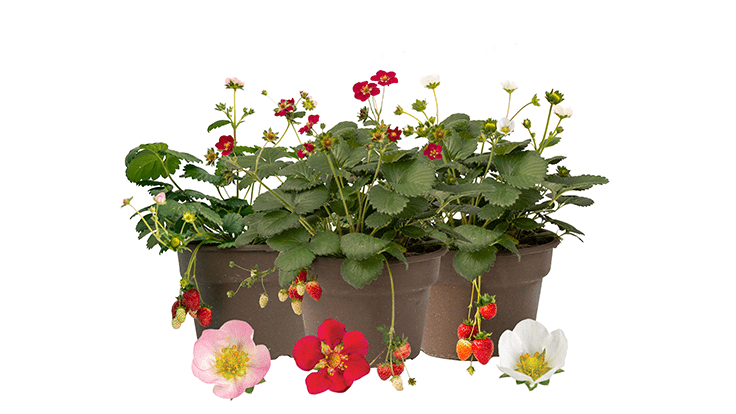 Bushel and Berry introduces three new strawberry plants