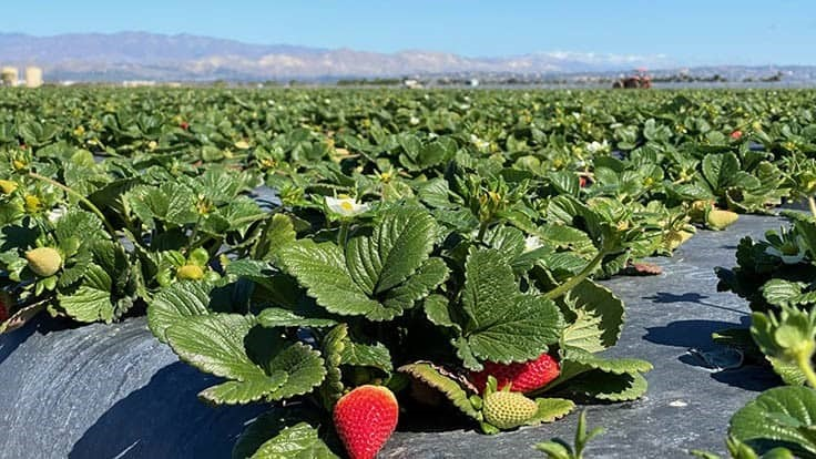 Wish Farms Expands Operation to Oxnard
