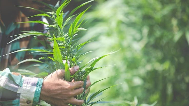 California Hemp Association Pushes Back on Proposed Flower Ban