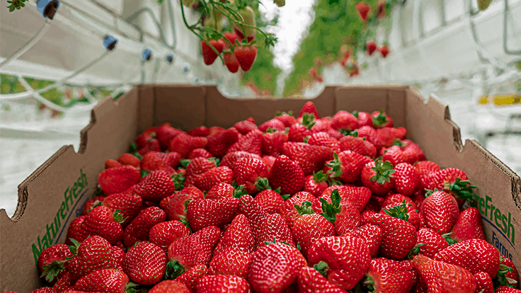 Nature Fresh Farms expands to 16 acres of strawberry production