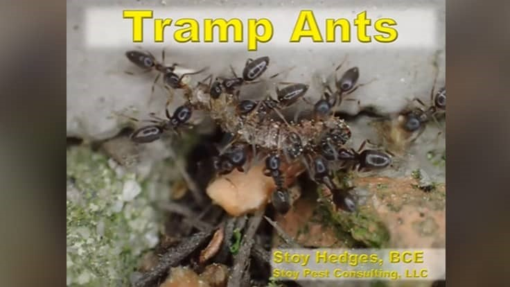 Webinar: Tramp Ants — The Ultimate Pest Control Challenge