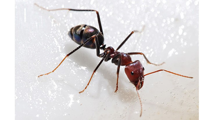 McCloud Provides Tips to Minimize Issues with Ants in Food Plants