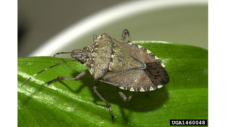 Scientists Share Observations on Spread of Stink Bugs