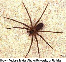 Boy Dies From Brown Recluse Spider Bite