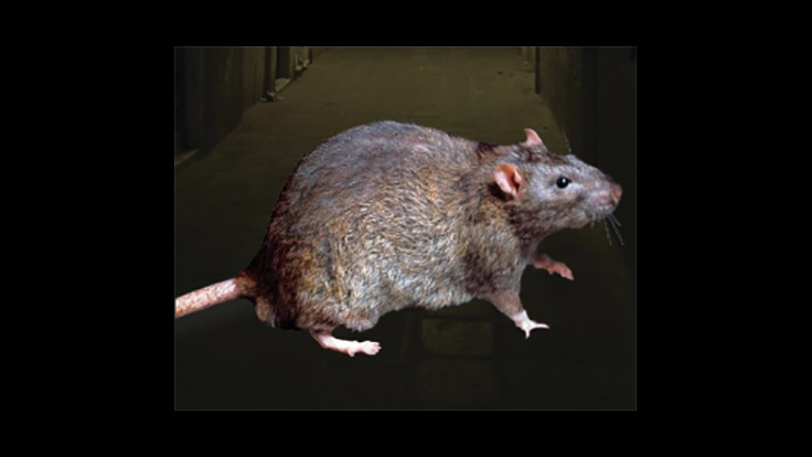 Paris Facing a 'Rat Crisis,' NY Times Reports