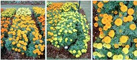 Dallas Arboretum releases trial summary of African Marigolds