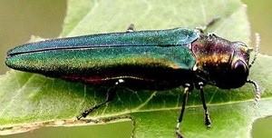 EAB may have spread to different tree