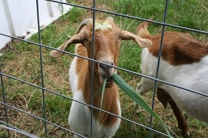 Researchers fight invasive grass with goats