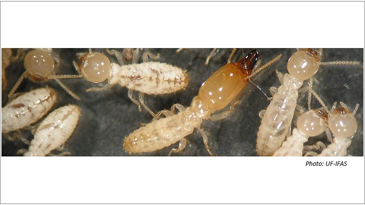 UF Study: If Termites Eat Bait for One Day, They Die Within 90