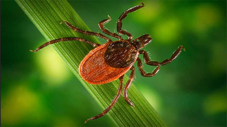 Evidence Suggests Ticks Fed on Dinosaurs