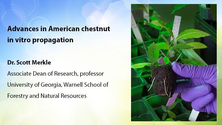 Advances in American chestnut propagation