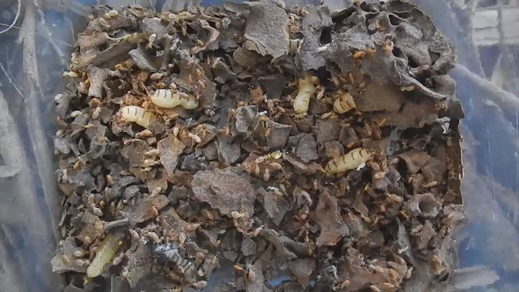 Multiple Queens in a Conehead Termite Colony