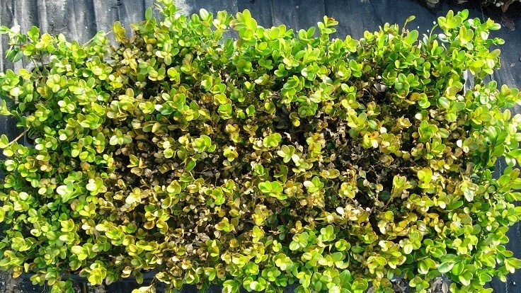 Reclaiming boxwood from boxwood blight