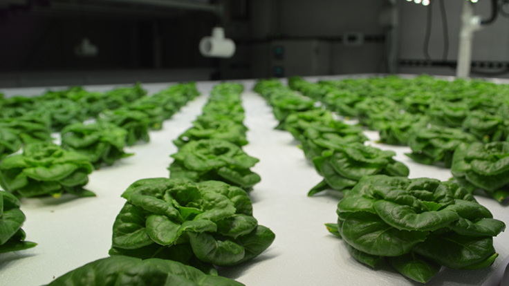 Urban crop production in vertical farms
