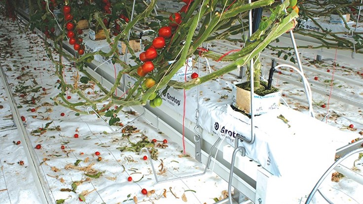 Tomatoes 101, Part I: a production guide