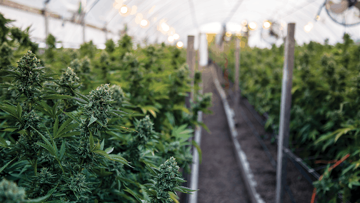 25 Tips for Improving Greenhouse Efficiency in Cannabis Cultivation