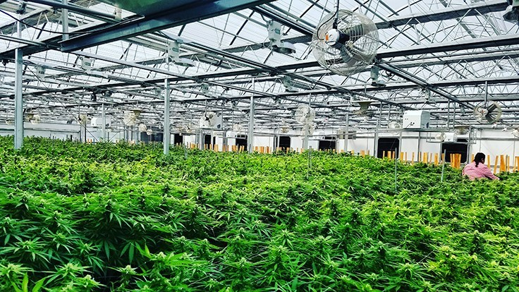 A Beginner's Guide to Scaling Cannabis Cultivation