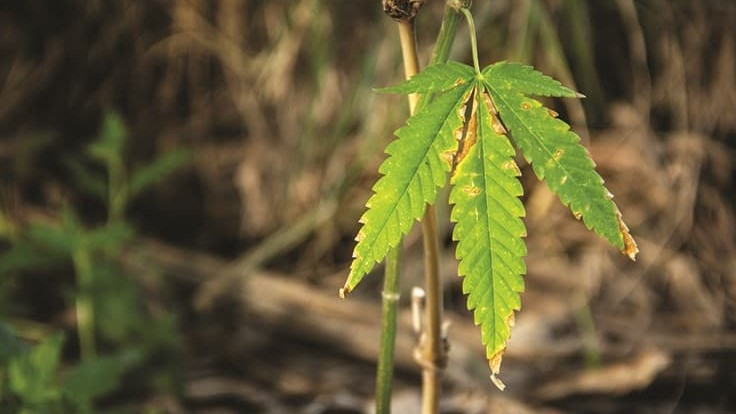 The Case for Cannabis Biodiversity